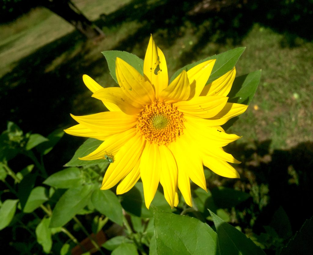 Volunteer sunflower seed sunflower.