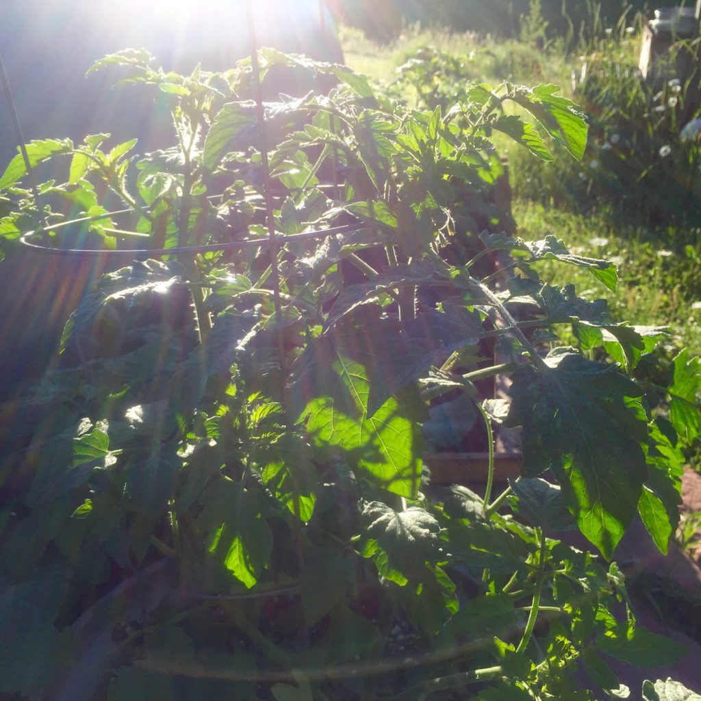 Tomato's in sunshine--home-garden.