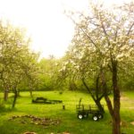 May Orchard Afternoon--Apple Blossoms