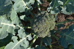 Homegrown Broccoli