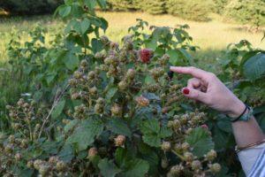 Fresh Michigan Blackberries