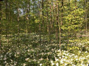 Trillium in Michigan's North Woods