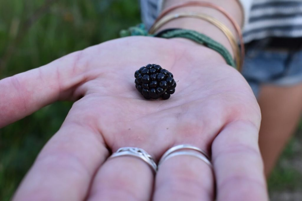 Fresh Picked Blackberry
